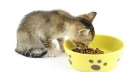 alimentation du chaton